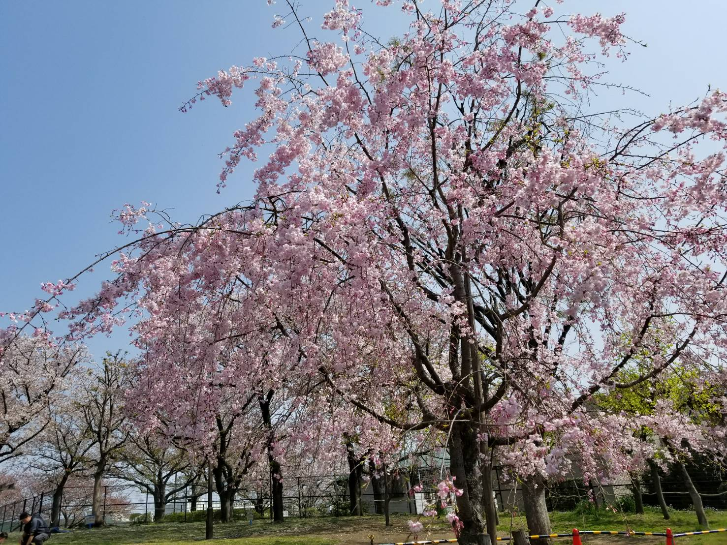 あらかわ遊園、桜が綺麗