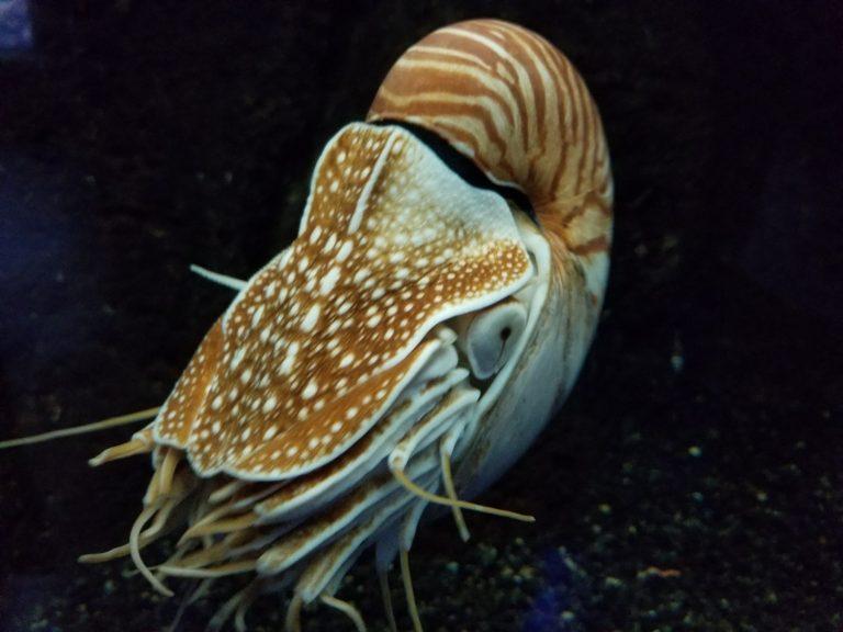 ワイキキ水族館、アンモナイト