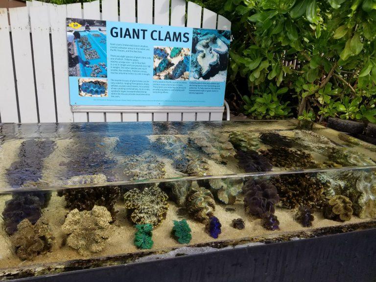 ワイキキ水族館、ジャイアントCLAMS
