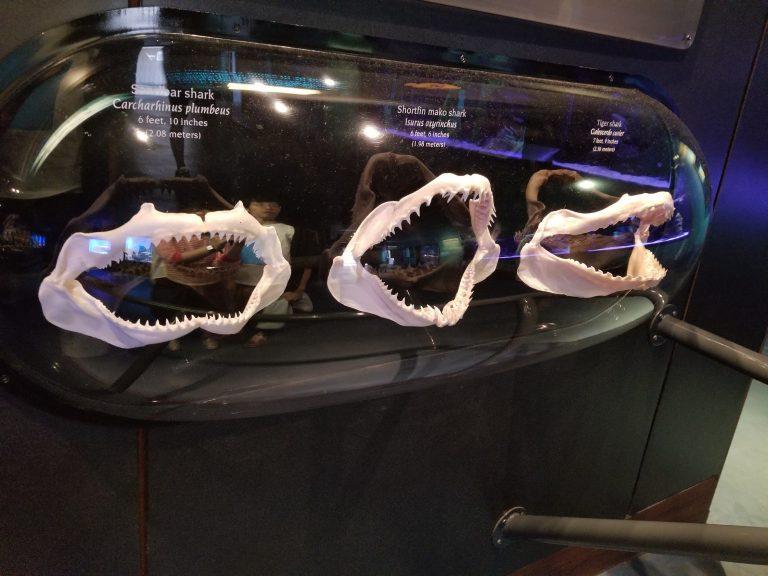 ワイキキ水族館、サメの歯の化石