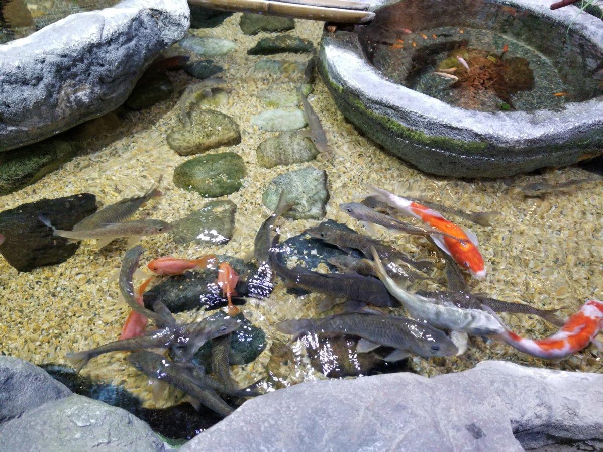 コエックス・アクアリウム:韓国の庭園:鯉
