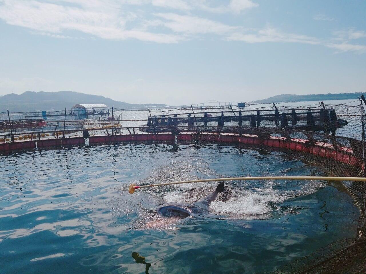 オニイトマキエイ:マンタやサメの飼育観察体験ツアー
