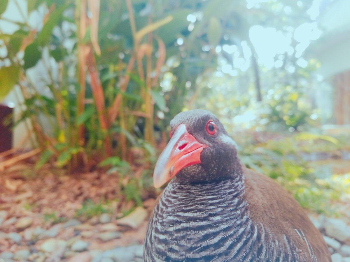 クー太。めちゃくちゃ近い!本当に近い:ヤンバルクイナ生態展示学習施設 クイナの森