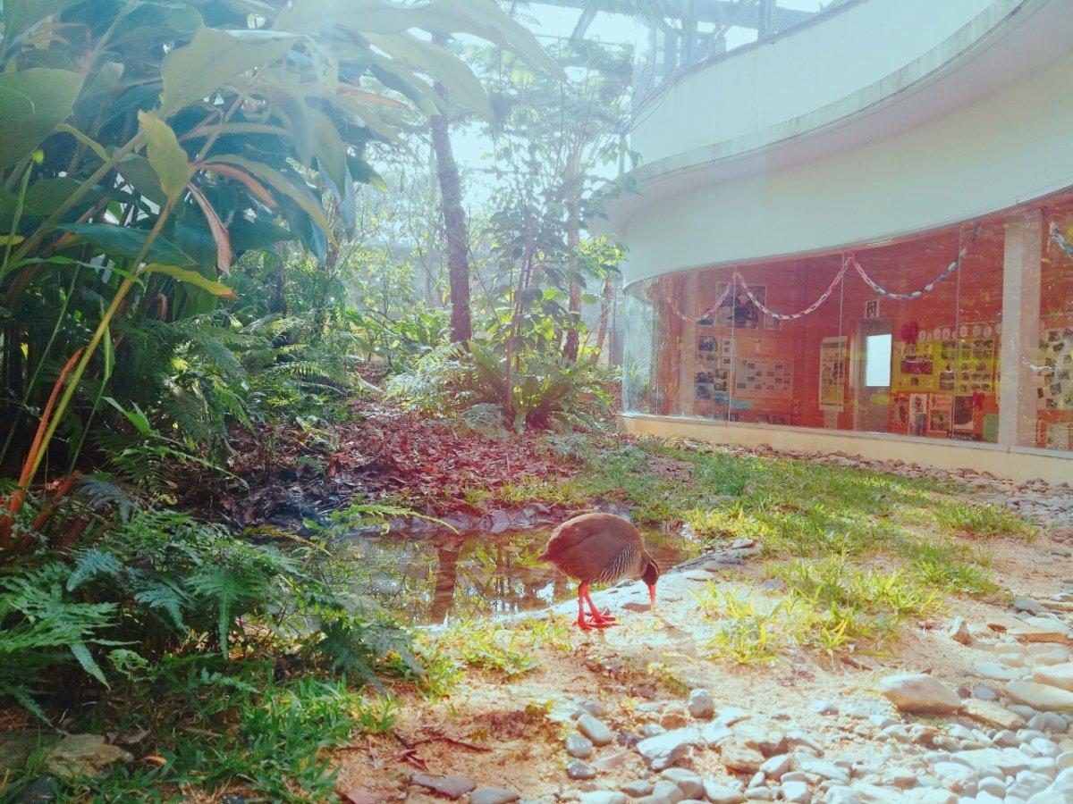 クー太。縄張りがあるからここで買われているのは1匹だけ:ヤンバルクイナ生態展示学習施設 クイナの森