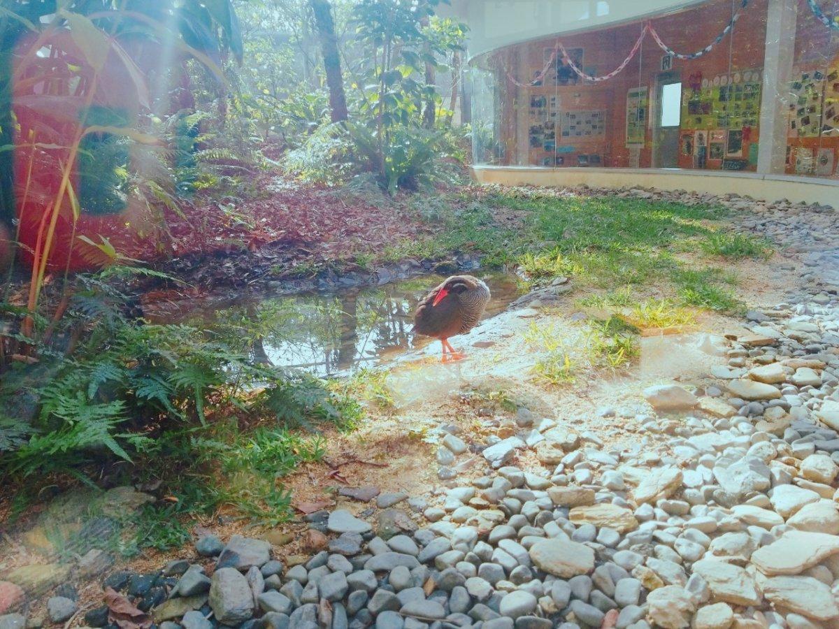 クー太。身づくろい中:ヤンバルクイナ生態展示学習施設 クイナの森