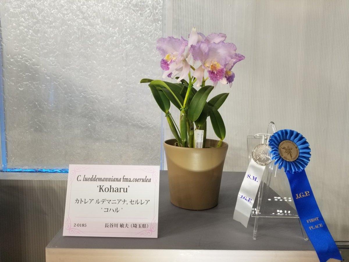 世界らん展2020~トロフィー賞~カトレア ルデマニアナ ,セルレア コハル