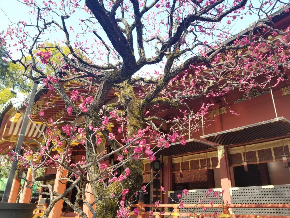 あざやかな梅の花。根津神社