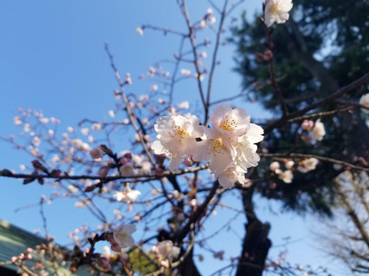 梅?桜?根津神社