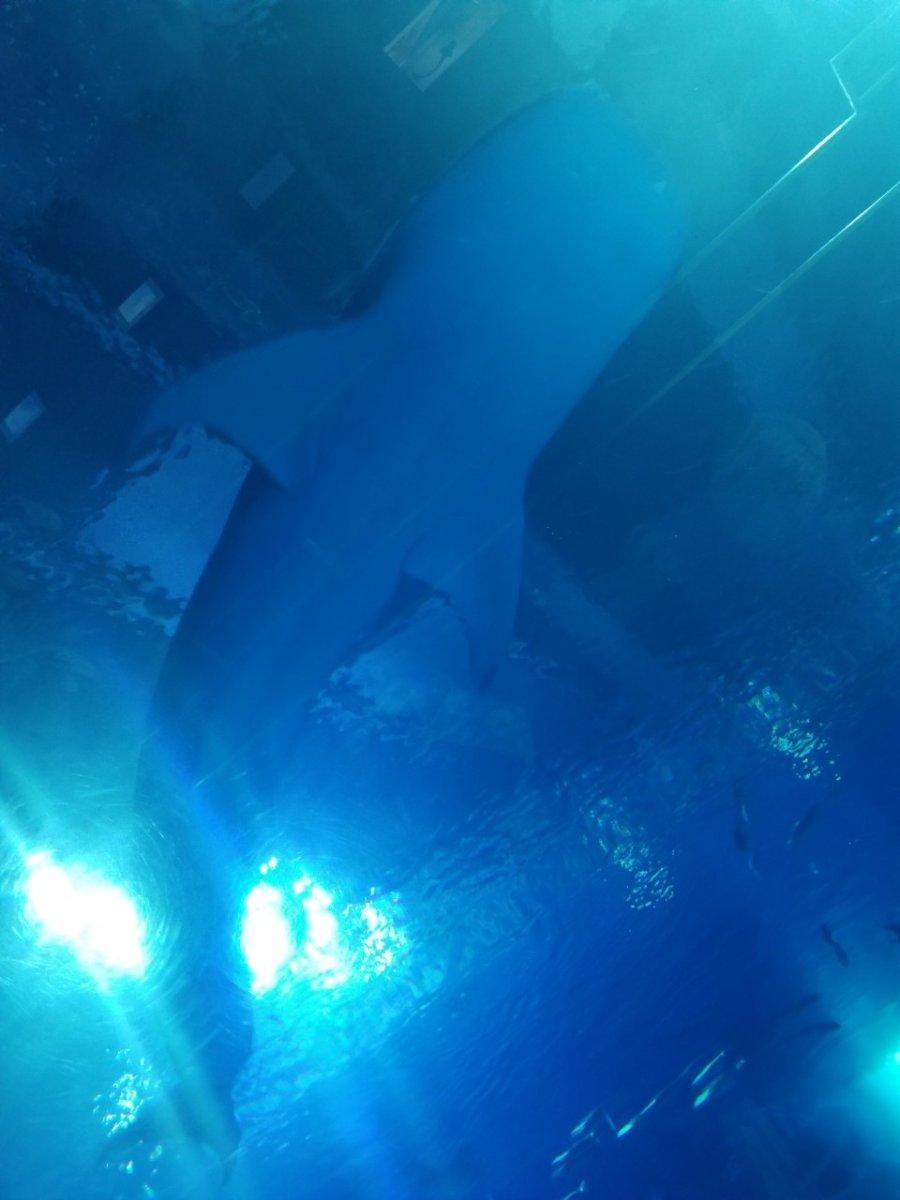 ジンベエザメ:ナイトアクアリウム:美ら海水族館: