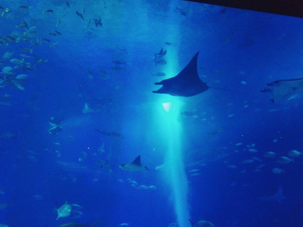 ブラックマンタ:ナイトアクアリウム:美ら海水族館: