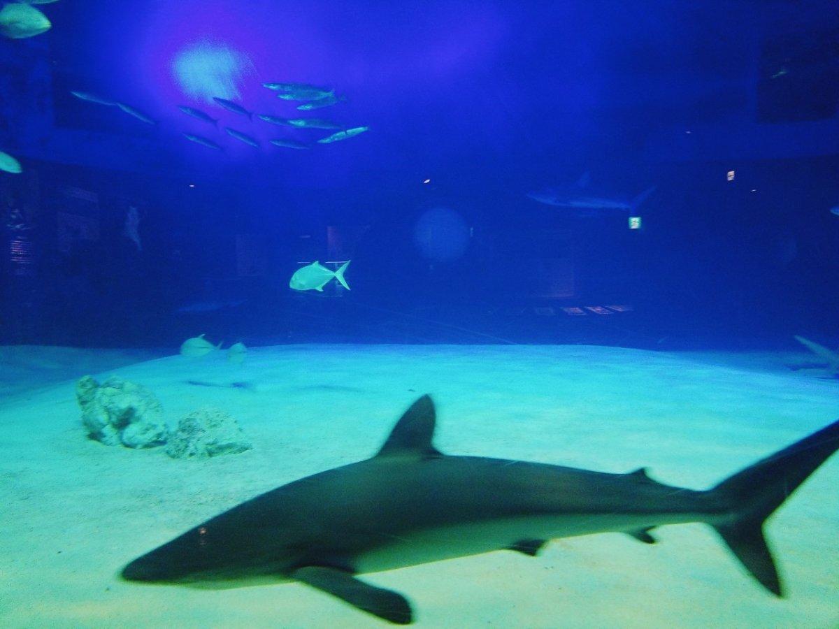 サメにエサやりナウ!:ナイトアクアリウム:美ら海水族館: