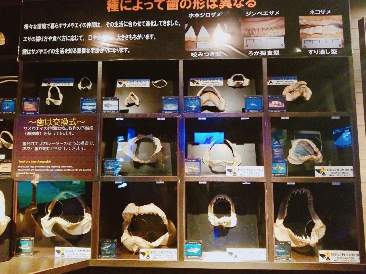 サメ歯の標本の数々:ナイトアクアリウム:美ら海水族館: