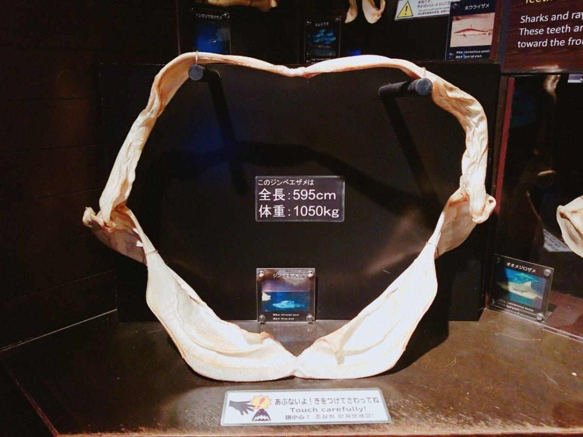 ジンベエザメの歯の標本:ナイトアクアリウム:美ら海水族館: