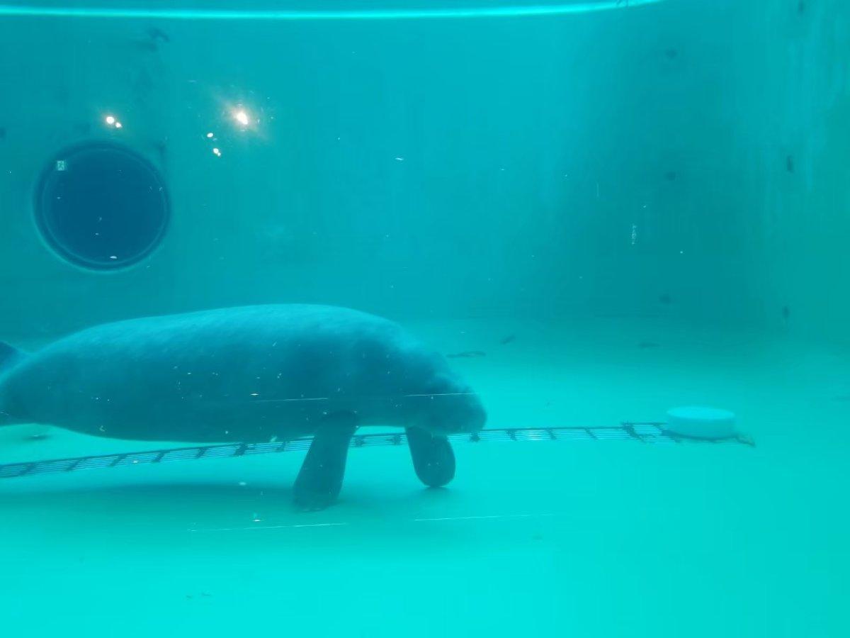 美ら海水族館ーのんびりマナティ