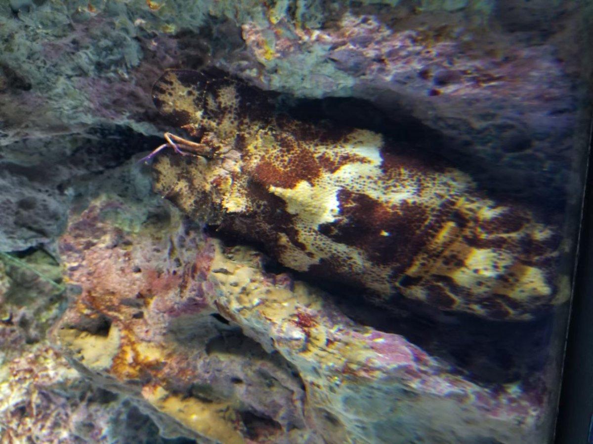 美ら海水族館ーどこにいるでしょうか?!セミエビだった、はず