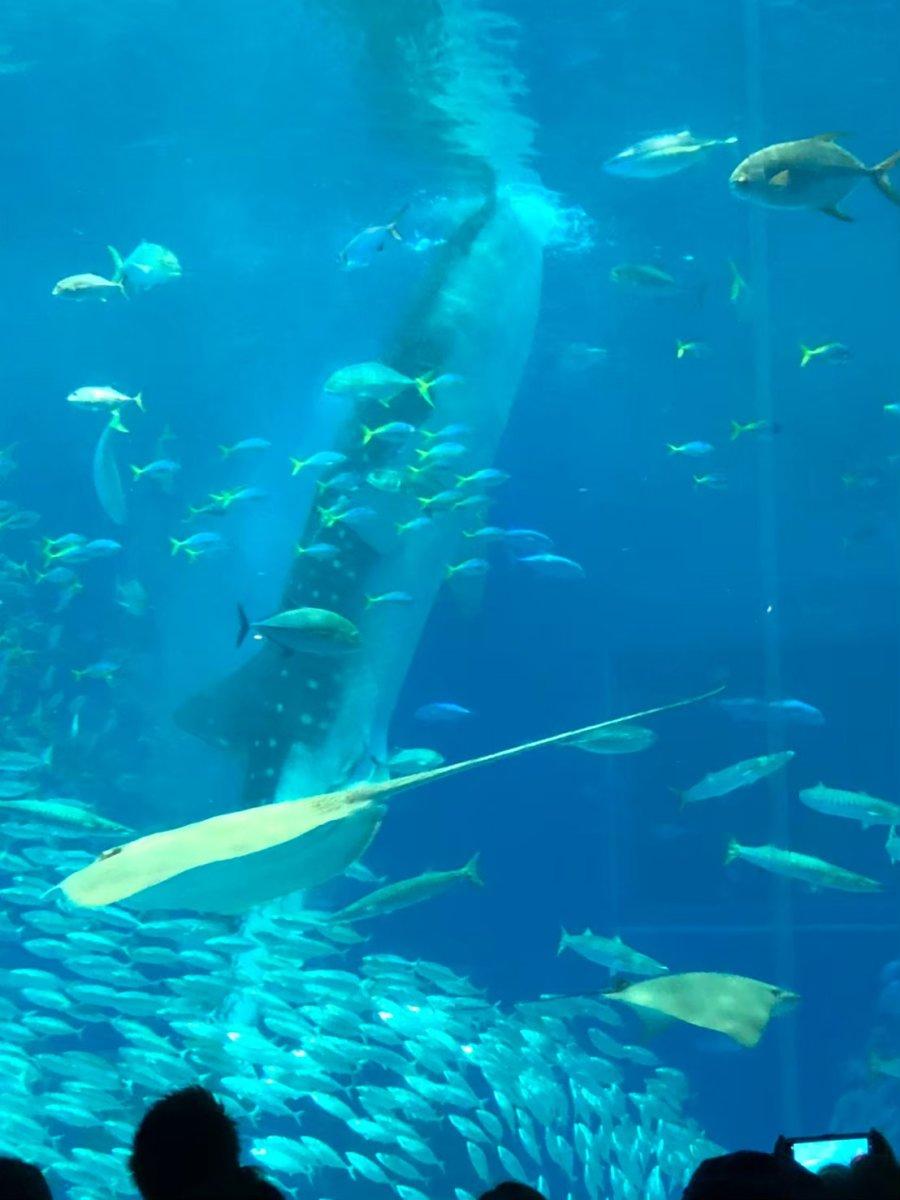美ら海水族館ーめちゃくちゃご飯食べてるジンベエザメ