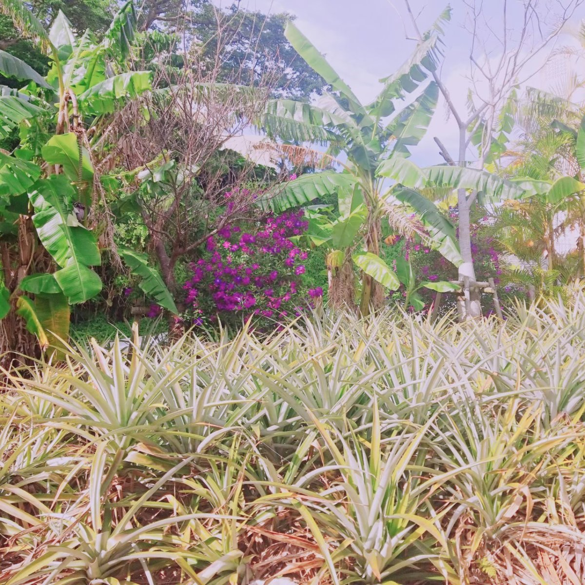 パイナップル畑&熱帯植物:パイナップルトレイン:ナゴパイナップルパーク