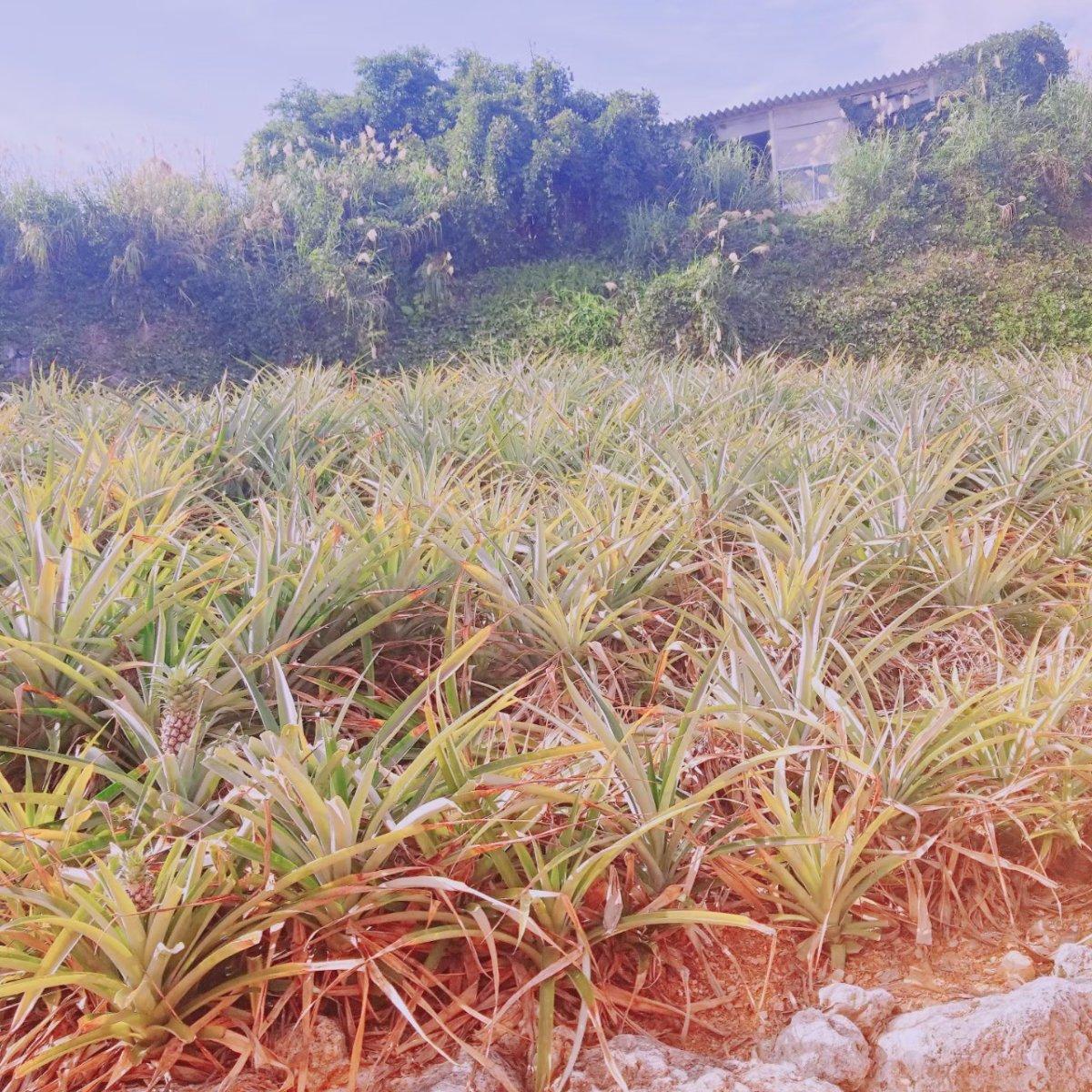 パイナップル畑:パイナップルトレイン:ナゴパイナップルパーク