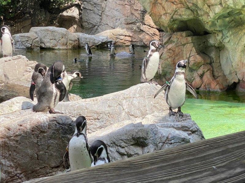 フンボルトペンギン:ズーラシア