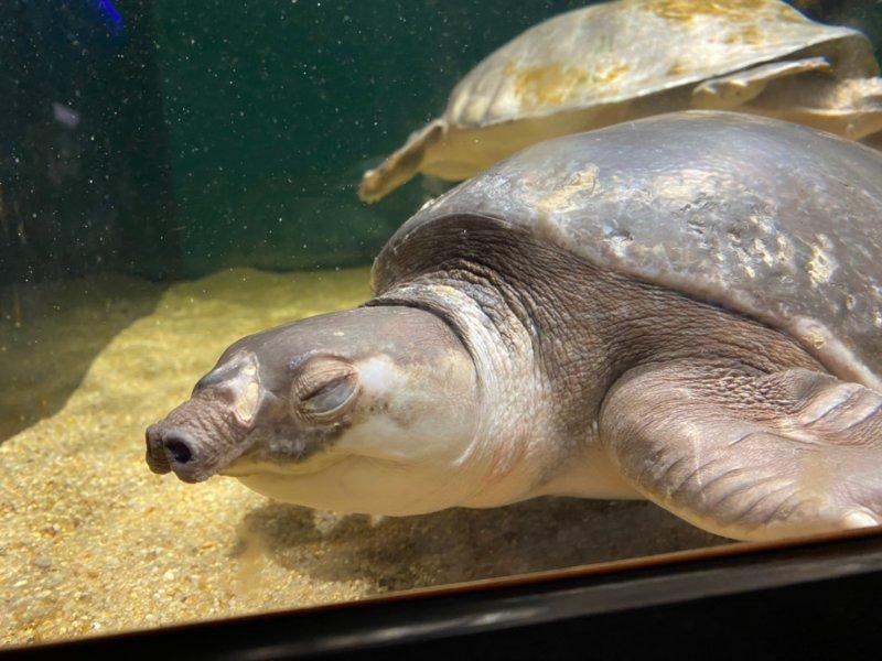 本当に鼻が豚みたい…覚えて帰りました:カワスイ:川崎水族館