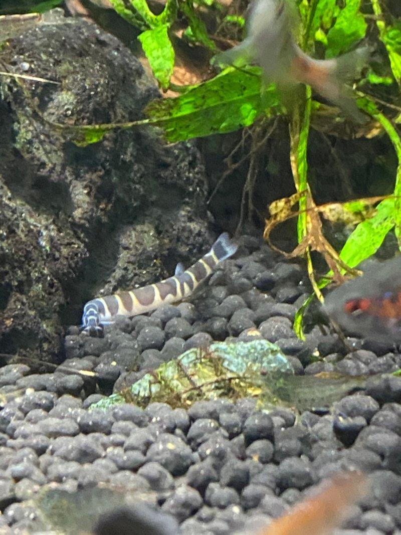 クーリーローチ(夜行性のドジョウらしい):カワスイ:川崎水族館