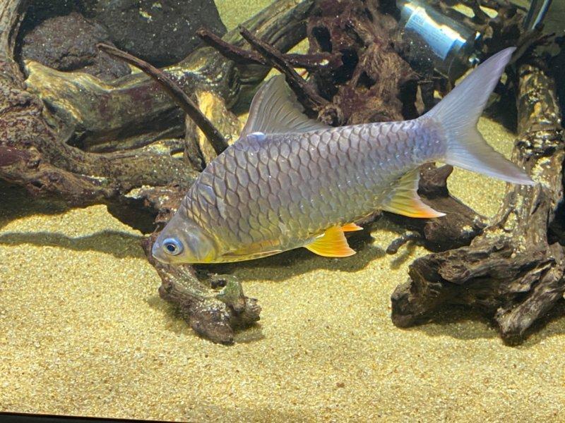 メスだけで繁殖するらしい…!ギンブナ:カワスイ:川崎水族館