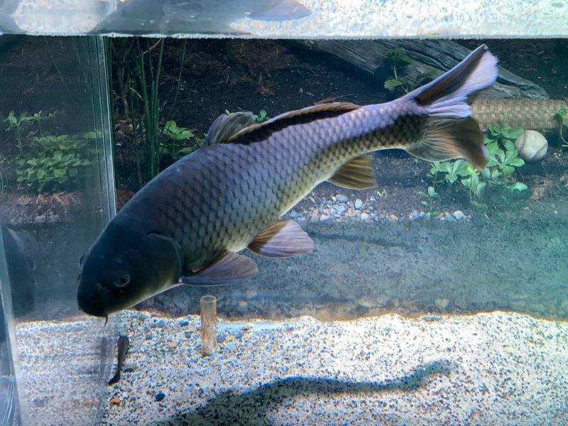 雑食大型魚…君の名は、鯉:カワスイ:川崎水族館