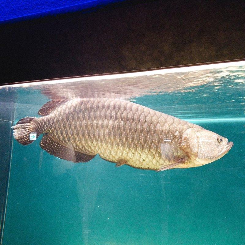 オーストラリアのアロワナ:ノーザンバラムンディ:カワスイ:川崎水族館