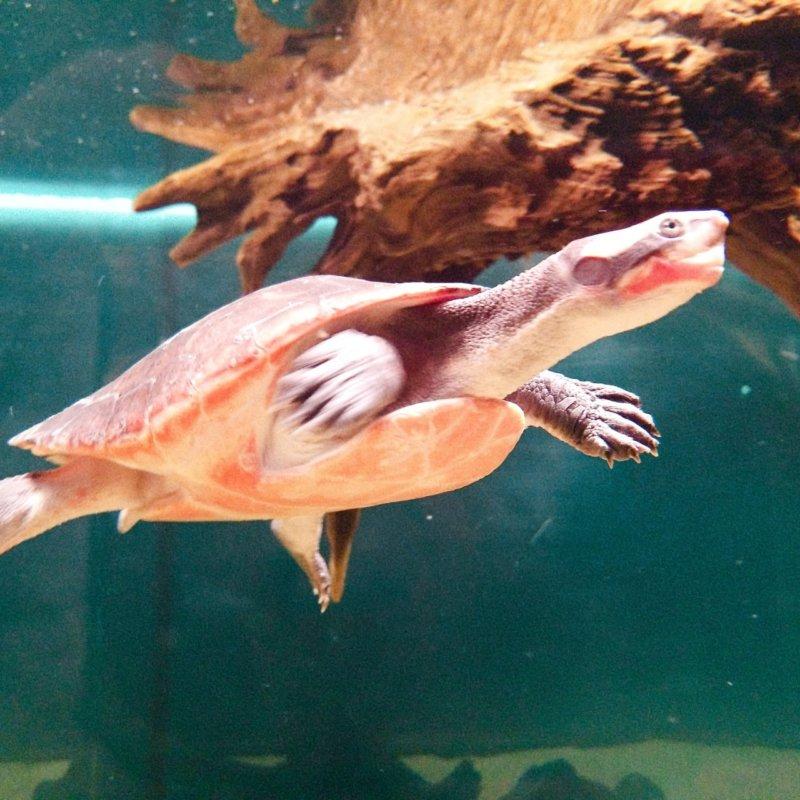ニシキマゲクビガメ:カワスイ:川崎水族館