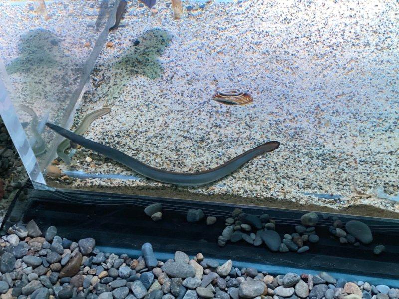 ニホンウナギ:カワスイ:川崎水族館