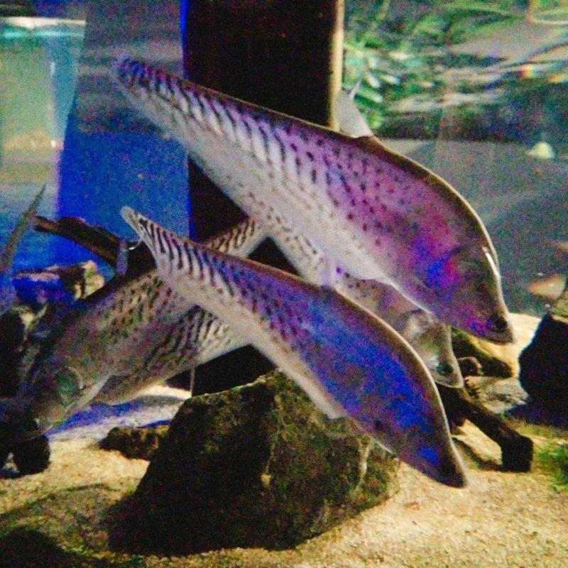 ロイヤルナイフフィッシュ:カワスイ:川崎水族館
