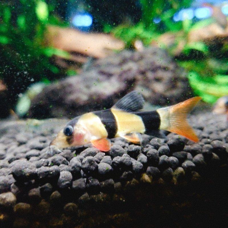 クラウンローチ(どじょうらしい):カワスイ:川崎水族館