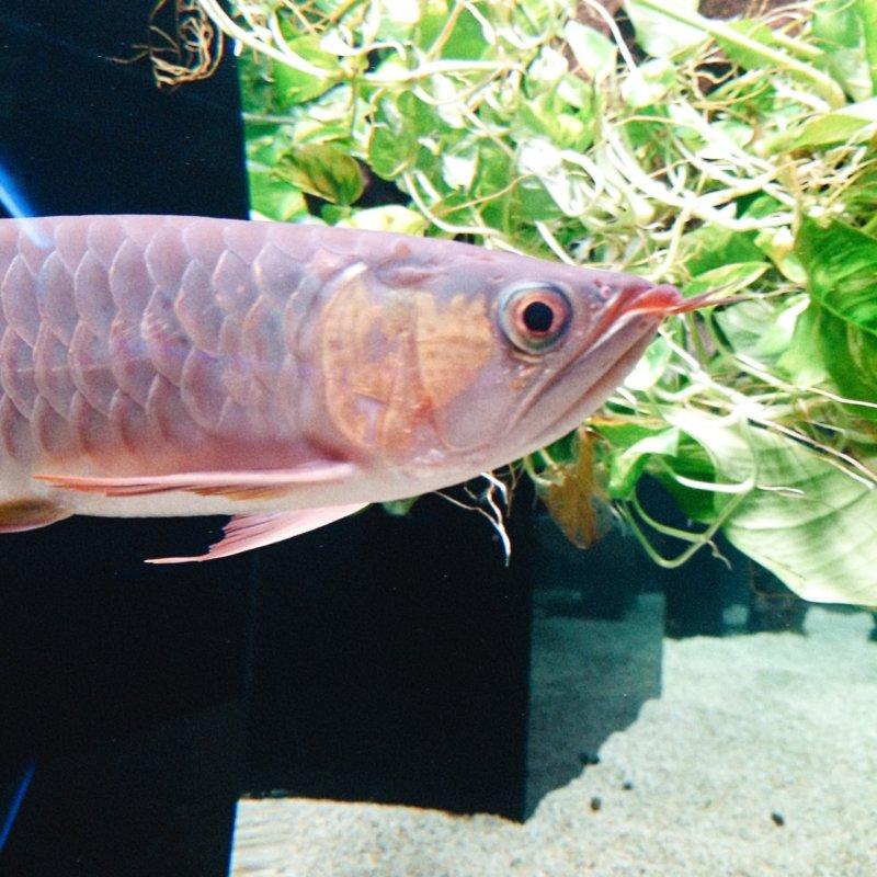 最も紅いアロワナ!アジアアロワナ(横麺):カワスイ:川崎水族館
