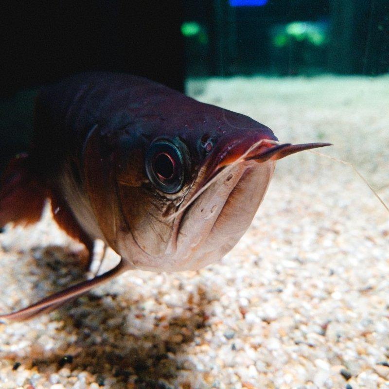 最も紅いアロワナ!アジアアロワナ(迫ってきた!):カワスイ:川崎水族館