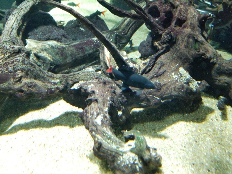 レッドテールブラックシャーク:カワスイ:川崎水族館
