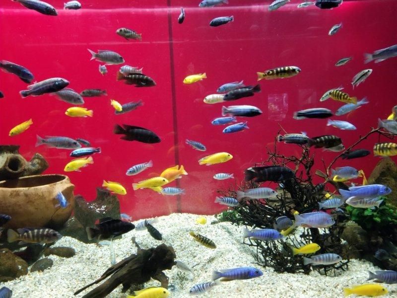 アフリカの水槽(世界遺産マラウィ湖に住んでいる魚たちっぽい):カワスイ:川崎水族館