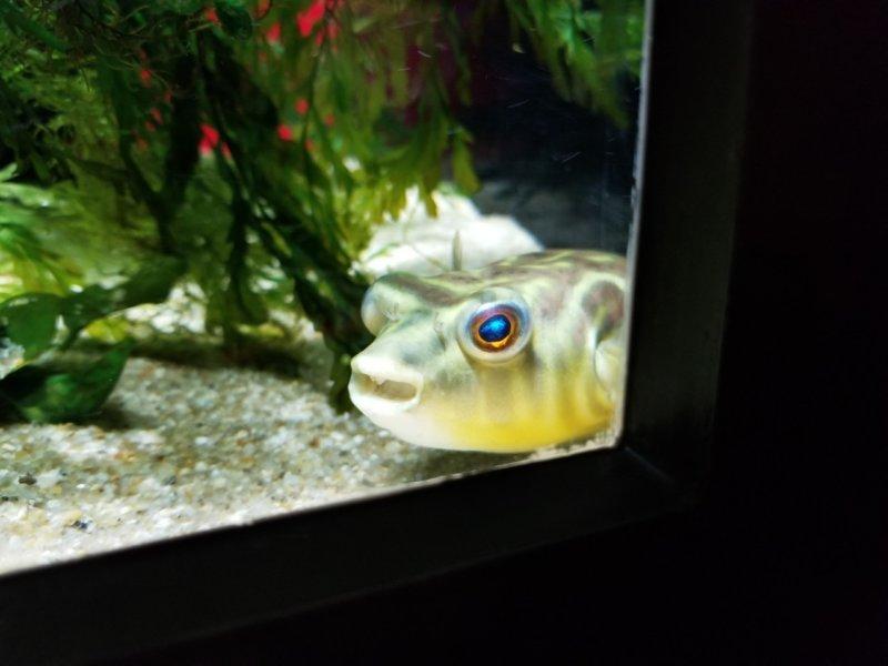 テトラオドン・ファハカ:カワスイ:川崎水族館