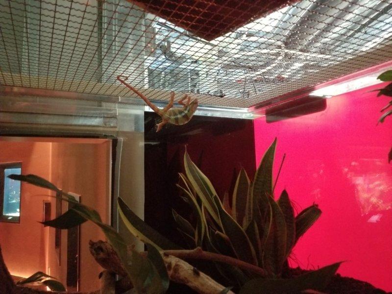 パンサーカメレオン(寝てる):カワスイ:川崎水族館