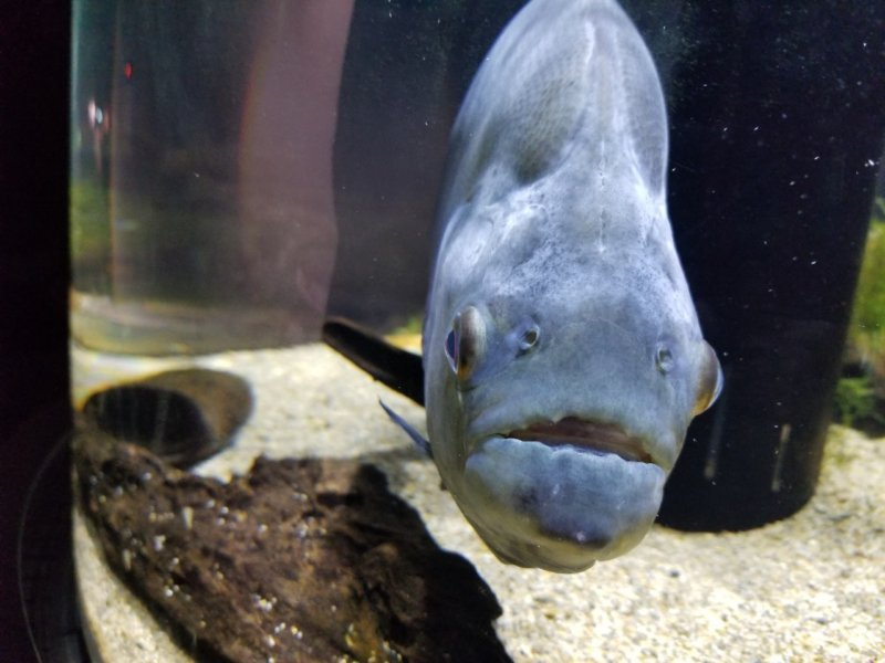 ブラックピラニア正面写真:カワスイ:川崎水族館