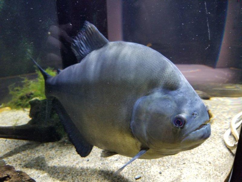 ブラックピラニア:カワスイ:川崎水族館