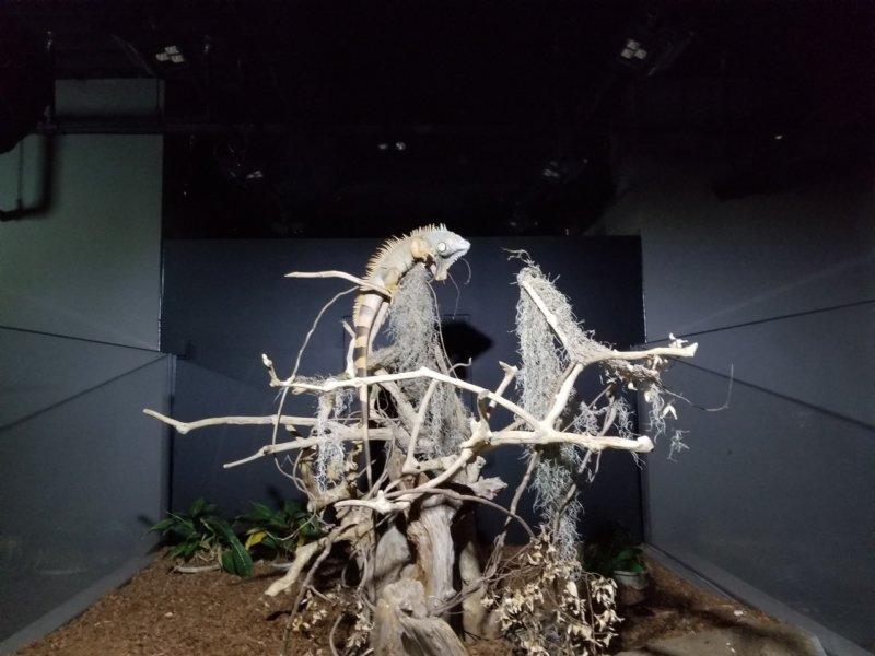 グリーンイグアナ:カワスイ:川崎水族館