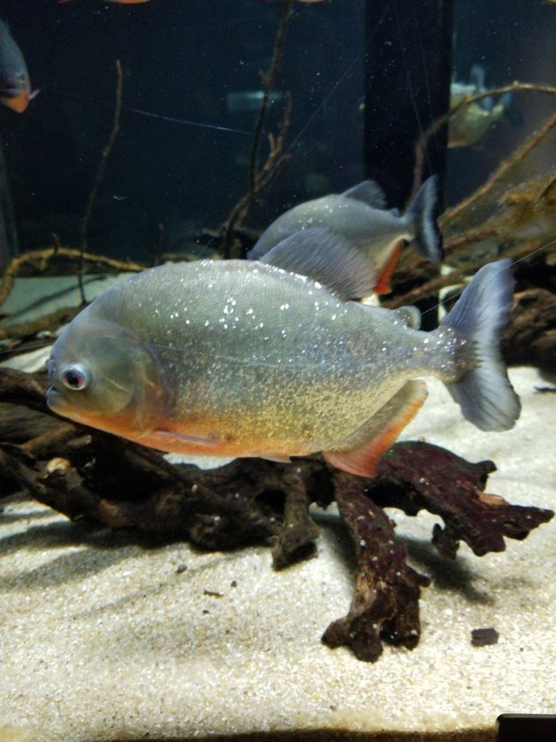 ピラニアナッテリー:カワスイ:川崎水族館